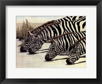 Framed Four Zebras Drinking