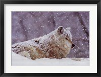 Framed Grey Wolf