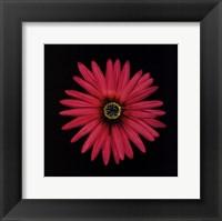 Framed Pink Daisy