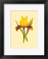 Framed Iris Bloom IV