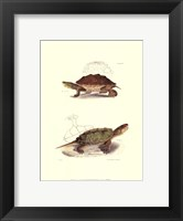 Framed Antique Turtles II