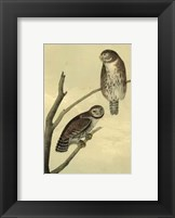 Framed Columbian Day-Owl