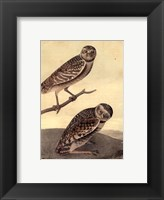 Framed Burrowing Day-Owl