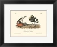 Framed Hudsonian Godwit