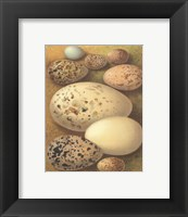Framed Bird Egg Collection I