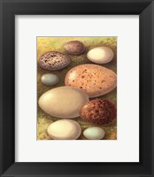 Framed Bird Egg Collection IV