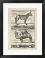 Framed Zebra Camel
