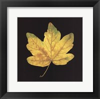 Framed Yellow Maple