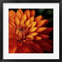 Framed Orange Dahlia