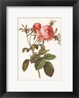 Framed Rosa Centrifolia Foliacea