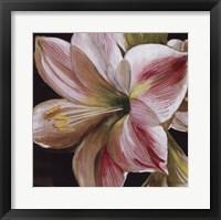 Framed Pink Amaryllis