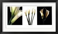 Framed White Callas