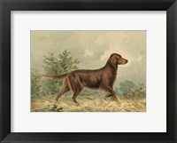Framed Irish Setter I