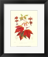 Framed Red Maple