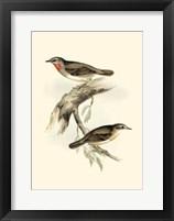 Framed Gould's Gorget Warbler