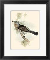 Framed Gould's Fieldfare