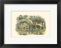 Framed Virginian Deer