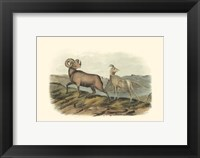 Framed Rocky Mountain Sheep