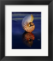 Framed Tiger Nautilus