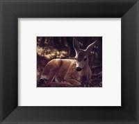 Framed Resting Mule Deer