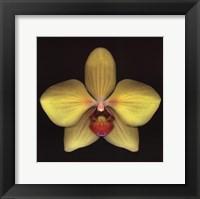 Framed Phalaenopsis