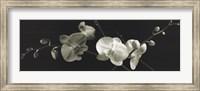 Framed Orchid Sprays