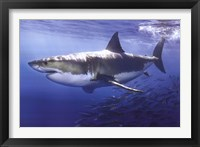 Framed Great White Shark Underwater