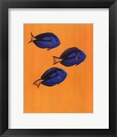 Regal Tangs Framed Print