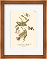Framed Black-Throated Green Wood Warbler