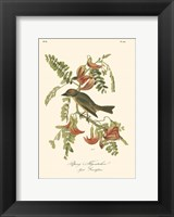 Framed Pipiry Flycatcher