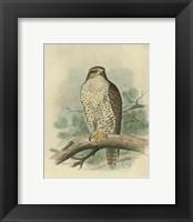 Framed Iceland Falcon