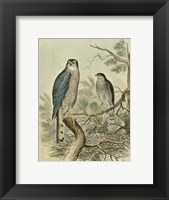 Framed Sparrow Hawk