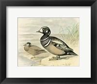 Framed Harlequin Duck