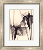 Framed Japanese Iris