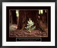 Framed Determination – Little Pine