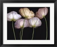 Framed Cream Poppies