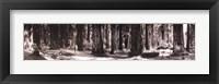 Framed Giant Redwoods