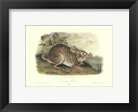 Framed Swamp Hare