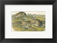 Framed Worm-wood Hare
