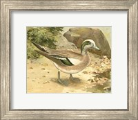 Framed Green-wing Teal
