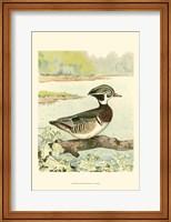 Framed Woodduck Male