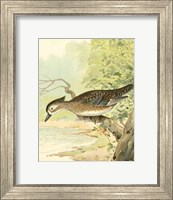 Framed Woodduck Female