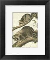 Framed Racoon