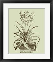 Framed Vintage Aloe II