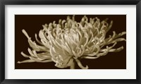 Framed Mammoth Mums II