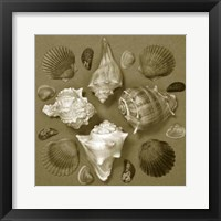 Framed Shell Collector Series IV