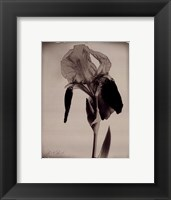 Framed Sepia Iris