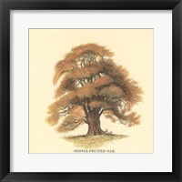 Framed Sessile-Fruited Oak