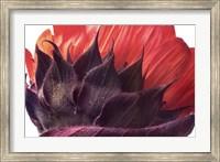 Framed Red Sunflower
