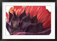 Framed Red Sunflower